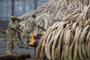 KWS rangers set fire to elephant tusks in the Nairobi National Park, Saturday , 30 April, 2016 in Kenya. Kenya burned 105 tonnes of ivory on Saturday, almost the countries entire stockpile, in the Nairobi National Park. IFAW /Karel Prinsloo
